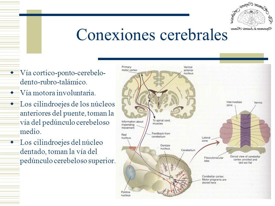 Conexiones cerebrales Vía cortico-ponto-cerebelo- dento-rubro-talámico. Vía motora involuntaria. Los cilindroejes de los núcleos anteriores del puente
