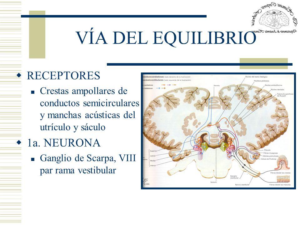 VÍA DEL EQUILIBRIO RECEPTORES Crestas ampollares de conductos semicirculares y manchas acústicas del utrículo y sáculo 1a. NEURONA Ganglio de Scarpa,
