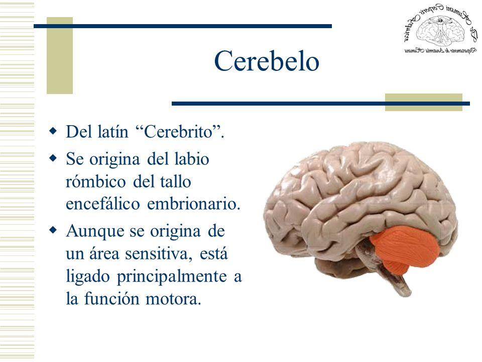 Cerebelo Del latín Cerebrito. Se origina del labio rómbico del tallo encefálico embrionario. Aunque se origina de un área sensitiva, está ligado princ