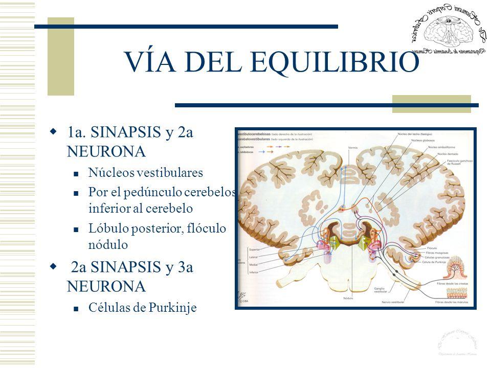 VÍA DEL EQUILIBRIO 1a. SINAPSIS y 2a NEURONA Núcleos vestibulares Por el pedúnculo cerebeloso inferior al cerebelo Lóbulo posterior, flóculo nódulo 2a