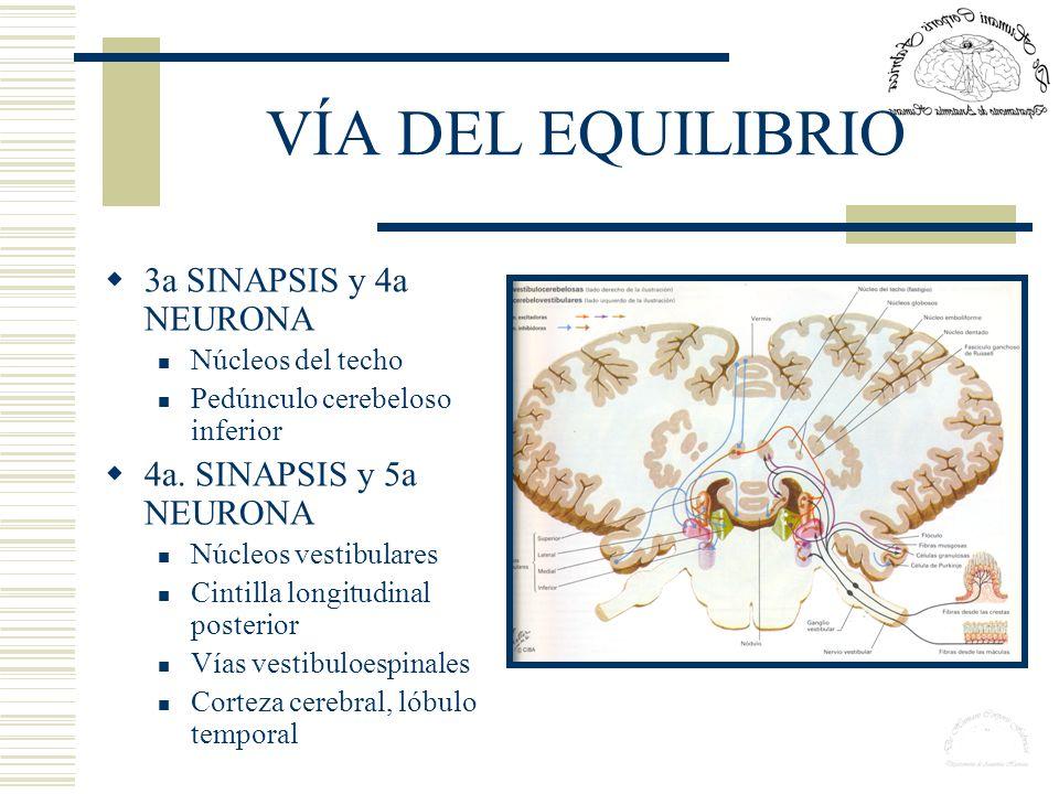VÍA DEL EQUILIBRIO 3a SINAPSIS y 4a NEURONA Núcleos del techo Pedúnculo cerebeloso inferior 4a. SINAPSIS y 5a NEURONA Núcleos vestibulares Cintilla lo