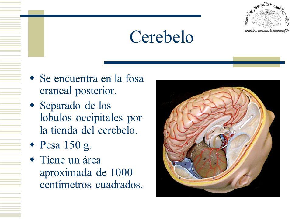 Cerebelo Se encuentra en la fosa craneal posterior. Separado de los lobulos occipitales por la tienda del cerebelo. Pesa 150 g. Tiene un área aproxima
