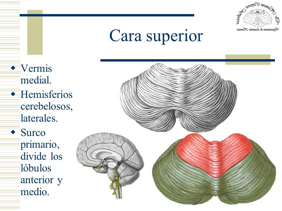 Cara superior Vermis medial. Hemisferios cerebelosos, laterales. Surco primario, divide los lóbulos anterior y medio.