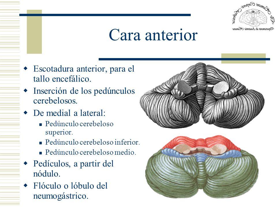 Cara anterior Escotadura anterior, para el tallo encefálico. Inserción de los pedúnculos cerebelosos. De medial a lateral: Pedúnculo cerebeloso superi
