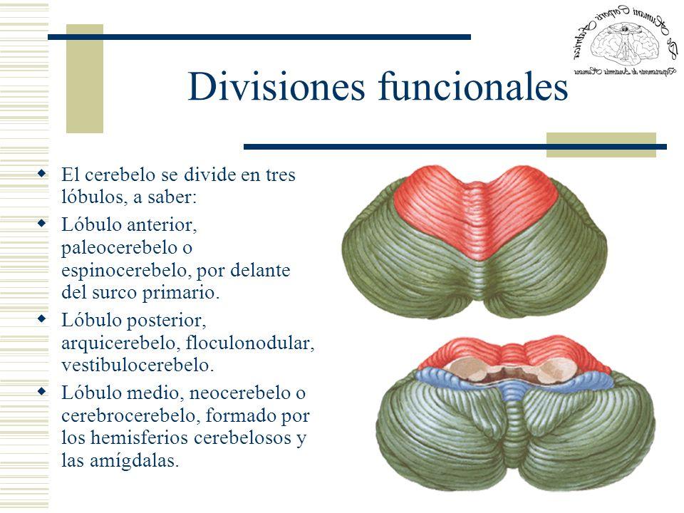 Divisiones funcionales El cerebelo se divide en tres lóbulos, a saber: Lóbulo anterior, paleocerebelo o espinocerebelo, por delante del surco primario