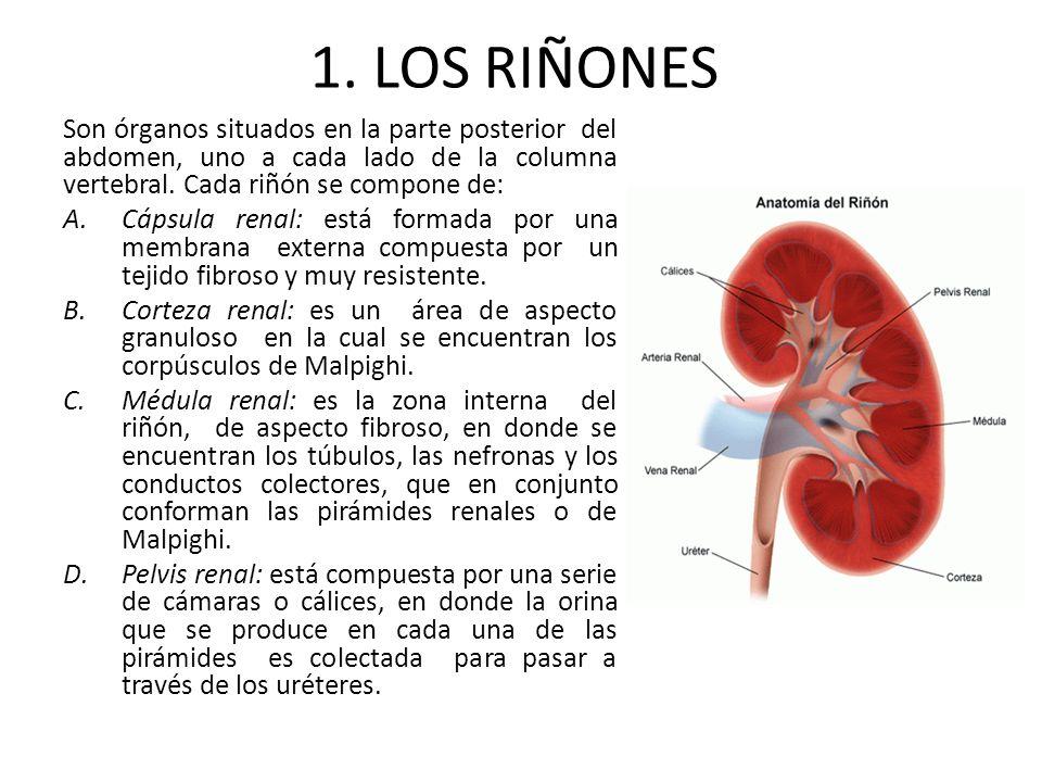 1. LOS RIÑONES Son órganos situados en la parte posterior del abdomen, uno a cada lado de la columna vertebral. Cada riñón se compone de: A.Cápsula re