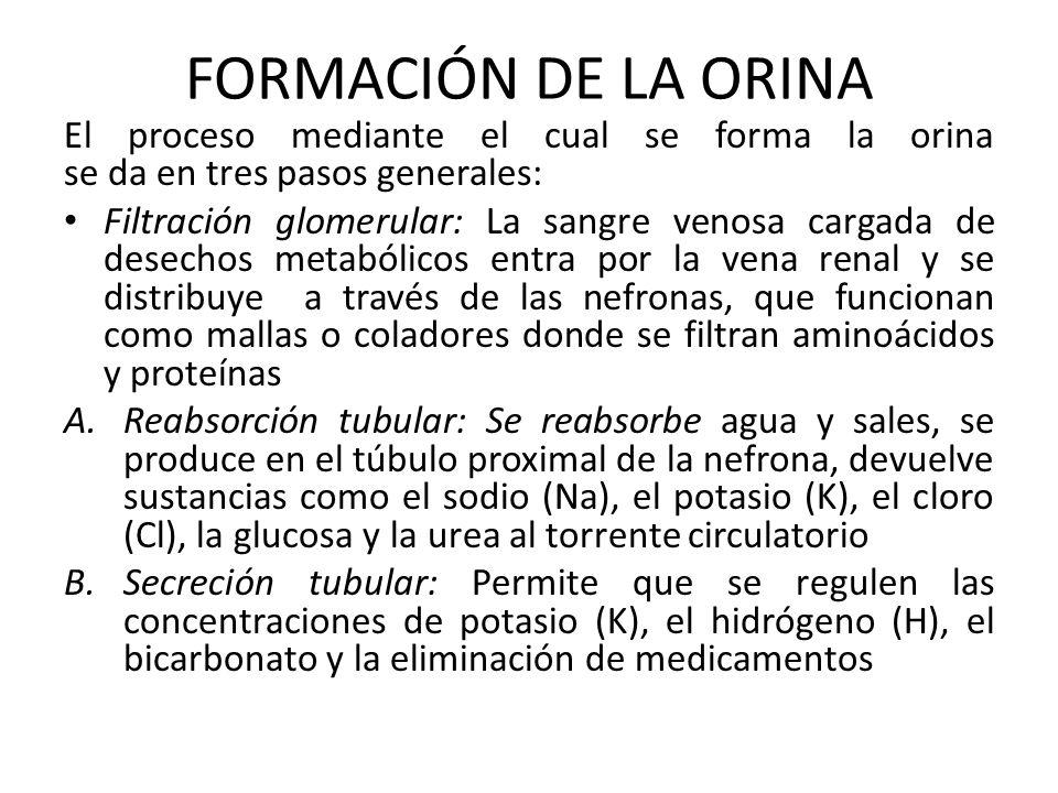 FORMACIÓN DE LA ORINA El proceso mediante el cual se forma la orina se da en tres pasos generales: Filtración glomerular: La sangre venosa cargada de desechos metabólicos entra por la vena renal y se distribuye a través de las nefronas, que funcionan como mallas o coladores donde se filtran aminoácidos y proteínas A.Reabsorción tubular: Se reabsorbe agua y sales, se produce en el túbulo proximal de la nefrona, devuelve sustancias como el sodio (Na), el potasio (K), el cloro (Cl), la glucosa y la urea al torrente circulatorio B.Secreción tubular: Permite que se regulen las concentraciones de potasio (K), el hidrógeno (H), el bicarbonato y la eliminación de medicamentos