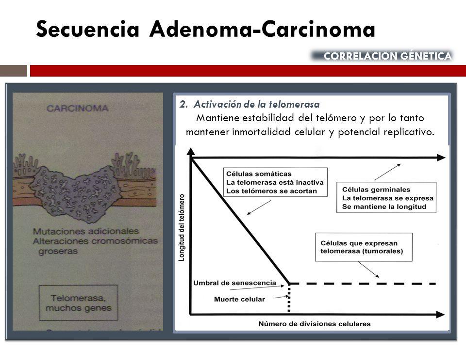 Secuencia Adenoma-Carcinoma CORRELACION GÉNETICA 2. Activación de la telomerasa Mantiene estabilidad del telómero y por lo tanto mantener inmortalidad