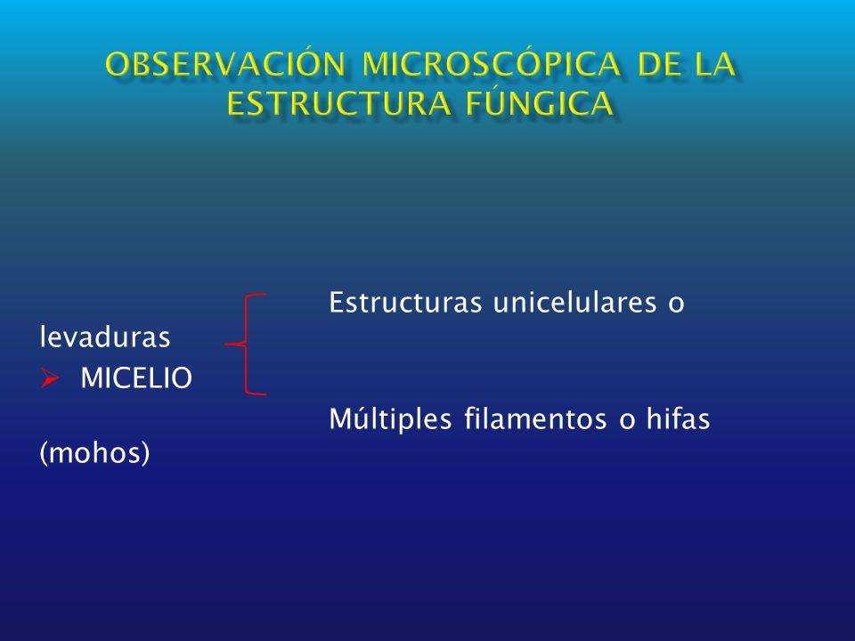 Estructuras unicelulares o levaduras MICELIO Múltiples filamentos o hifas (mohos)