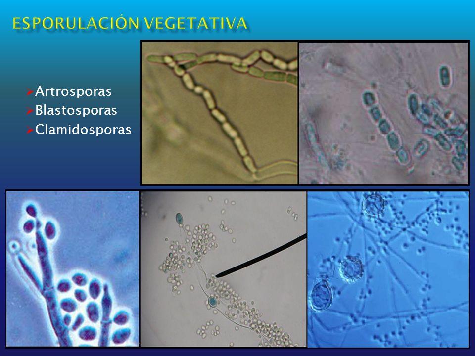 Artrosporas Blastosporas Clamidosporas