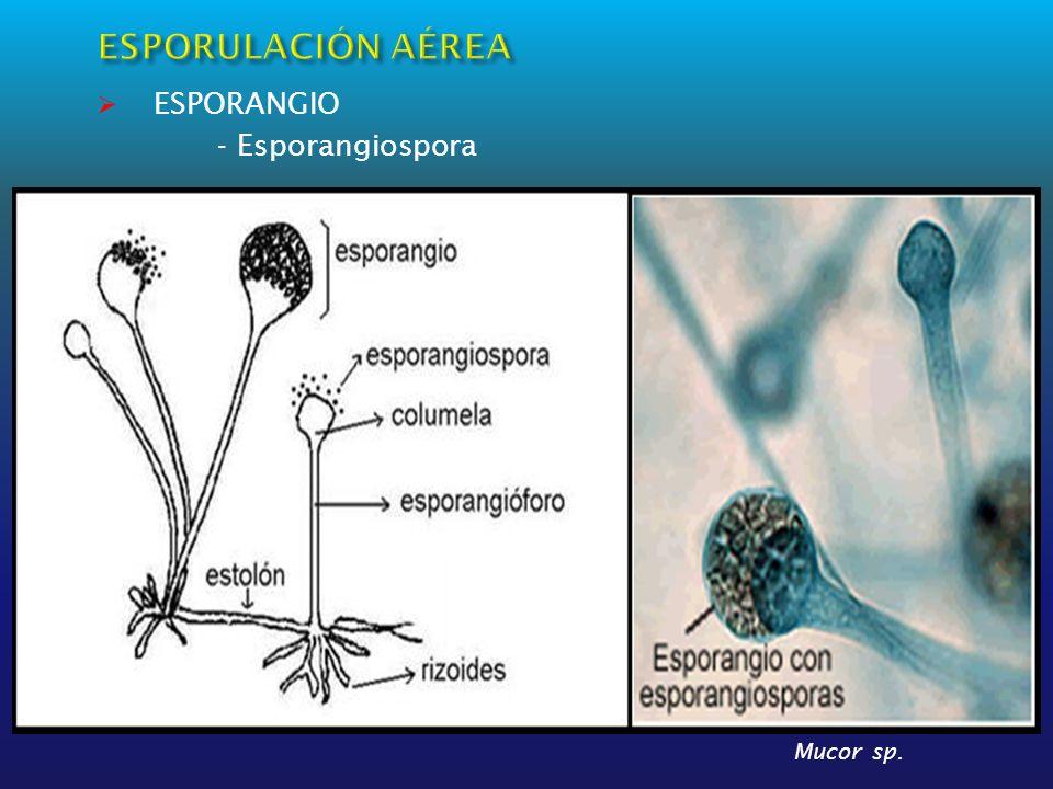 ESPORANGIO - Esporangiospora Mucor sp.