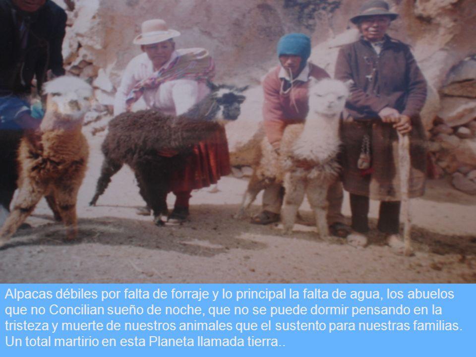 Alpacas débiles por falta de forraje y lo principal la falta de agua, los abuelos que no Concilian sueño de noche, que no se puede dormir pensando en