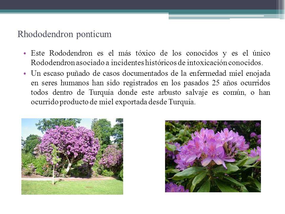 Rhododendron ponticum Este Rododendron es el más tóxico de los conocidos y es el único Rododendron asociado a incidentes históricos de intoxicación co