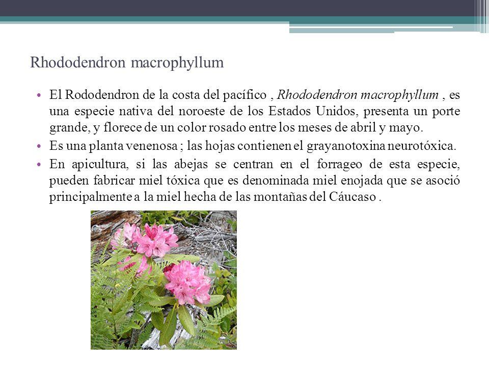 Rhododendron macrophyllum El Rododendron de la costa del pacífico, Rhododendron macrophyllum, es una especie nativa del noroeste de los Estados Unidos