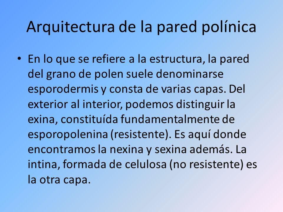 Arquitectura de la pared polínica En lo que se refiere a la estructura, la pared del grano de polen suele denominarse esporodermis y consta de varias