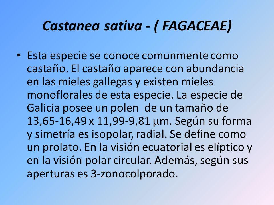 Castanea sativa - ( FAGACEAE) Esta especie se conoce comunmente como castaño. El castaño aparece con abundancia en las mieles gallegas y existen miele