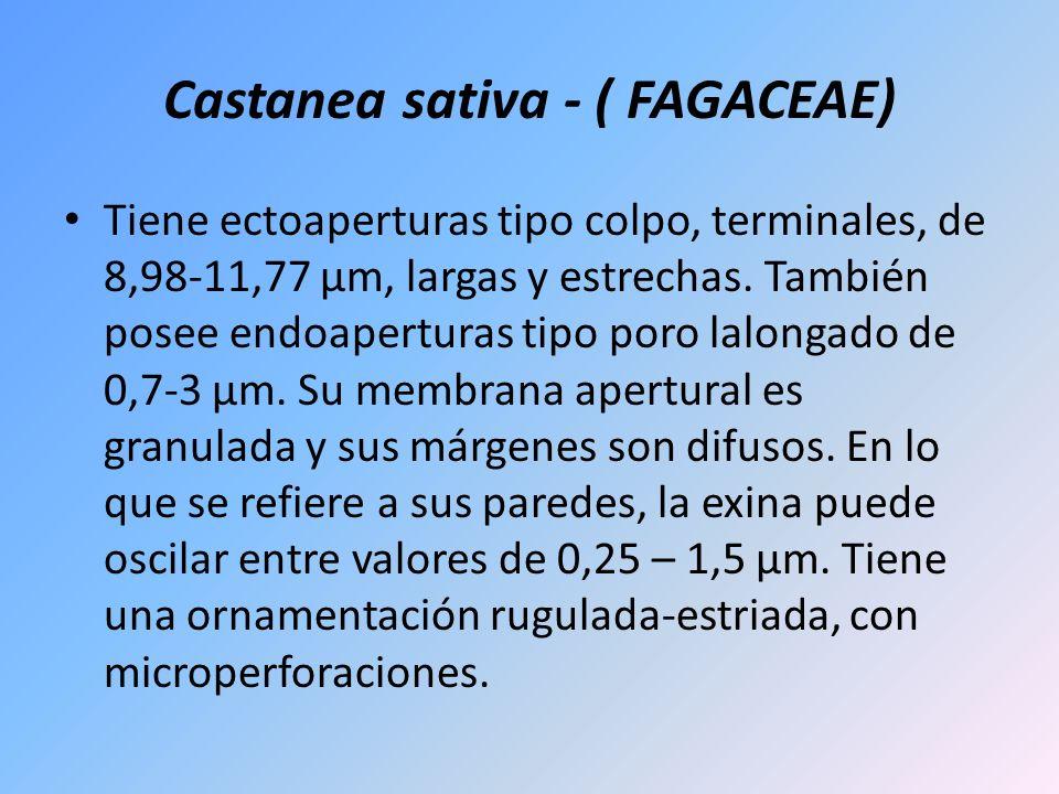 Castanea sativa - ( FAGACEAE) Tiene ectoaperturas tipo colpo, terminales, de 8,98-11,77 µm, largas y estrechas. También posee endoaperturas tipo poro