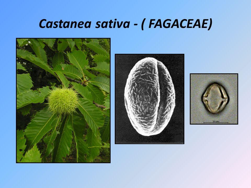 Castanea sativa - ( FAGACEAE)