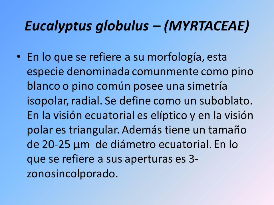 Eucalyptus globulus – (MYRTACEAE) En lo que se refiere a su morfología, esta especie denominada comunmente como pino blanco o pino común posee una sim