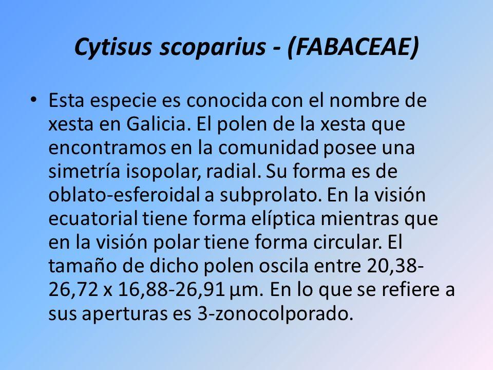 Cytisus scoparius - (FABACEAE) Esta especie es conocida con el nombre de xesta en Galicia. El polen de la xesta que encontramos en la comunidad posee