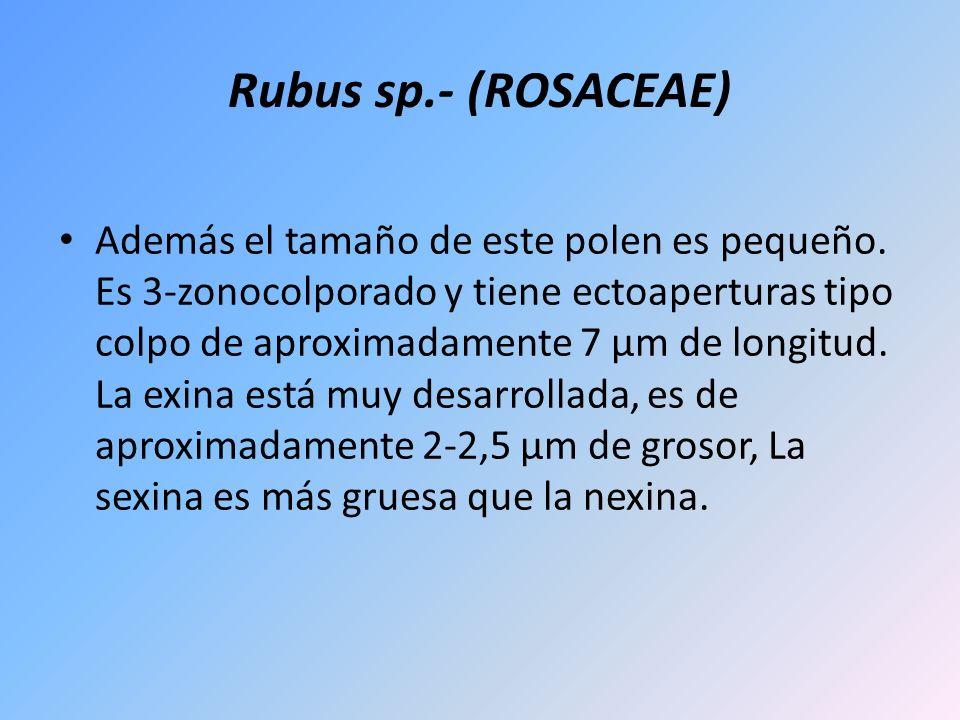 Rubus sp.- (ROSACEAE) Además el tamaño de este polen es pequeño. Es 3-zonocolporado y tiene ectoaperturas tipo colpo de aproximadamente 7 µm de longit