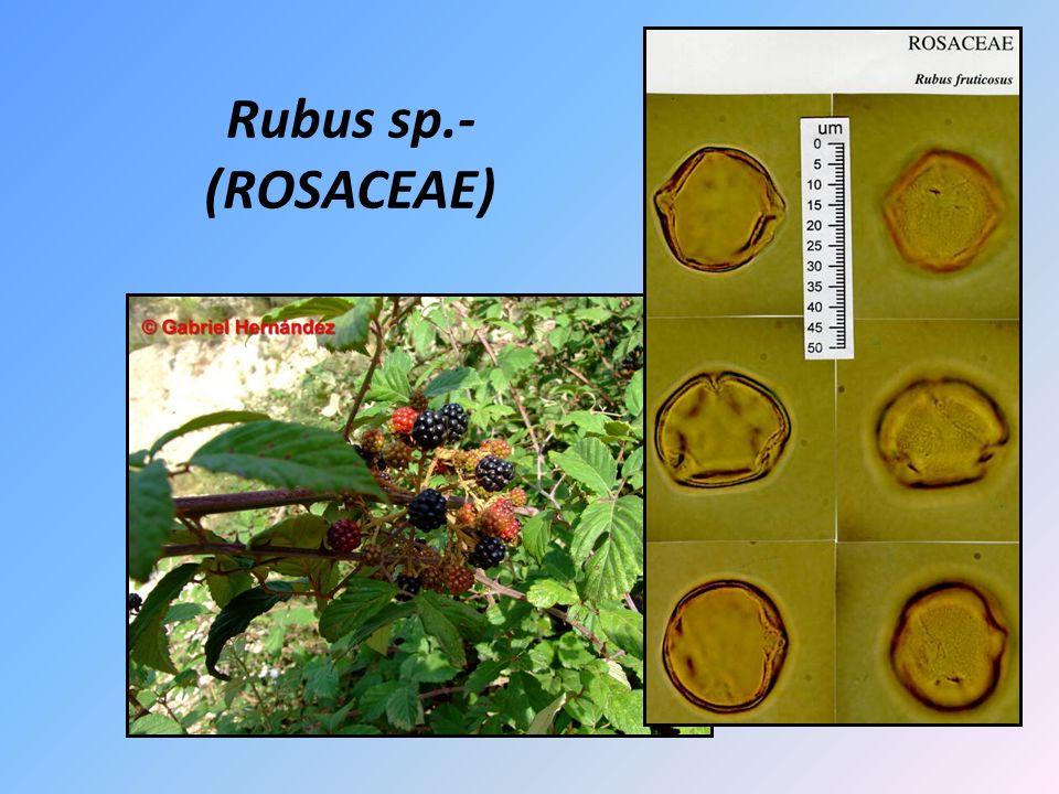 Rubus sp.- (ROSACEAE)
