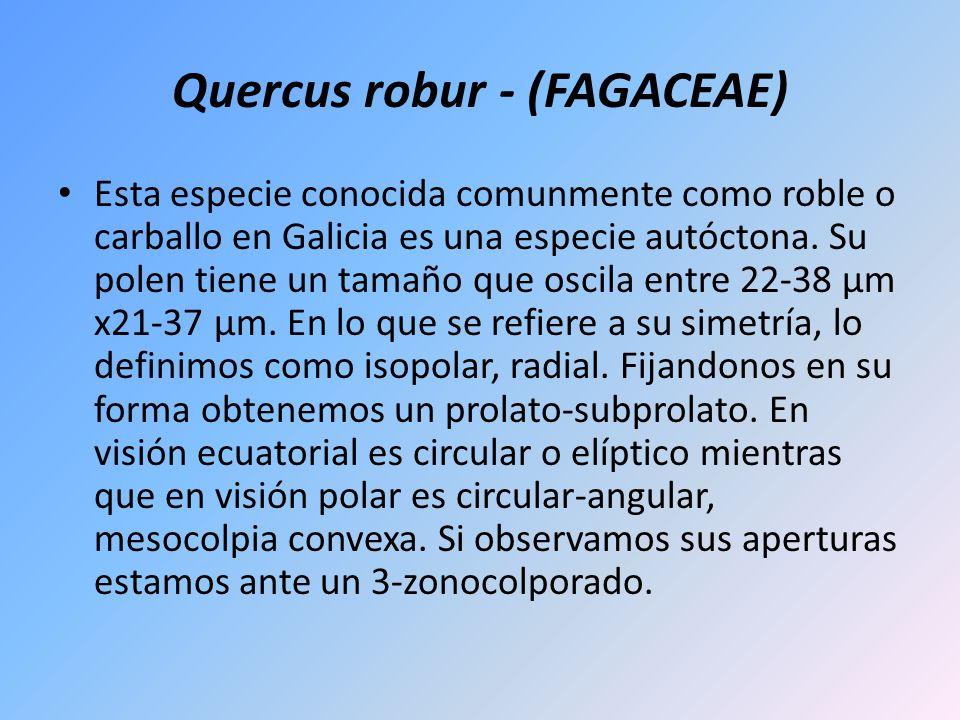 Quercus robur - (FAGACEAE) Esta especie conocida comunmente como roble o carballo en Galicia es una especie autóctona. Su polen tiene un tamaño que os