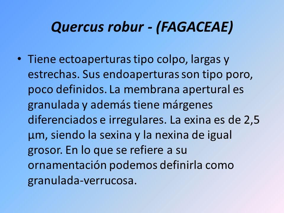 Quercus robur - (FAGACEAE) Tiene ectoaperturas tipo colpo, largas y estrechas. Sus endoaperturas son tipo poro, poco definidos. La membrana apertural