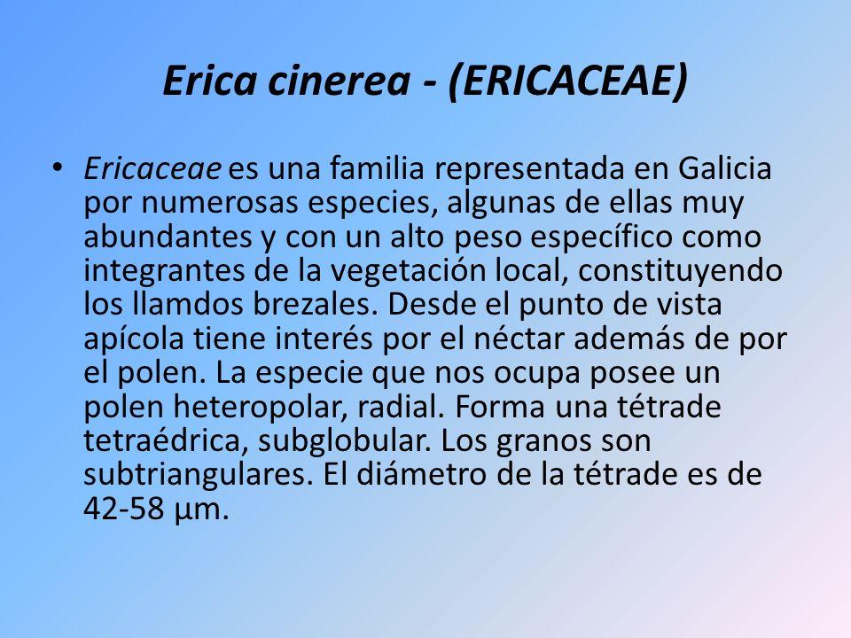 Erica cinerea - (ERICACEAE) Ericaceae es una familia representada en Galicia por numerosas especies, algunas de ellas muy abundantes y con un alto pes