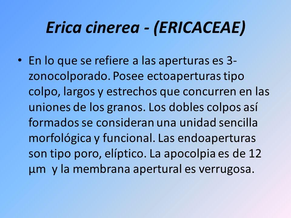 Erica cinerea - (ERICACEAE) En lo que se refiere a las aperturas es 3- zonocolporado. Posee ectoaperturas tipo colpo, largos y estrechos que concurren