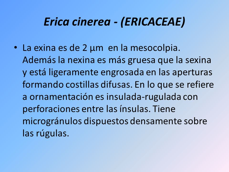 Erica cinerea - (ERICACEAE) La exina es de 2 µm en la mesocolpia. Además la nexina es más gruesa que la sexina y está ligeramente engrosada en las ape