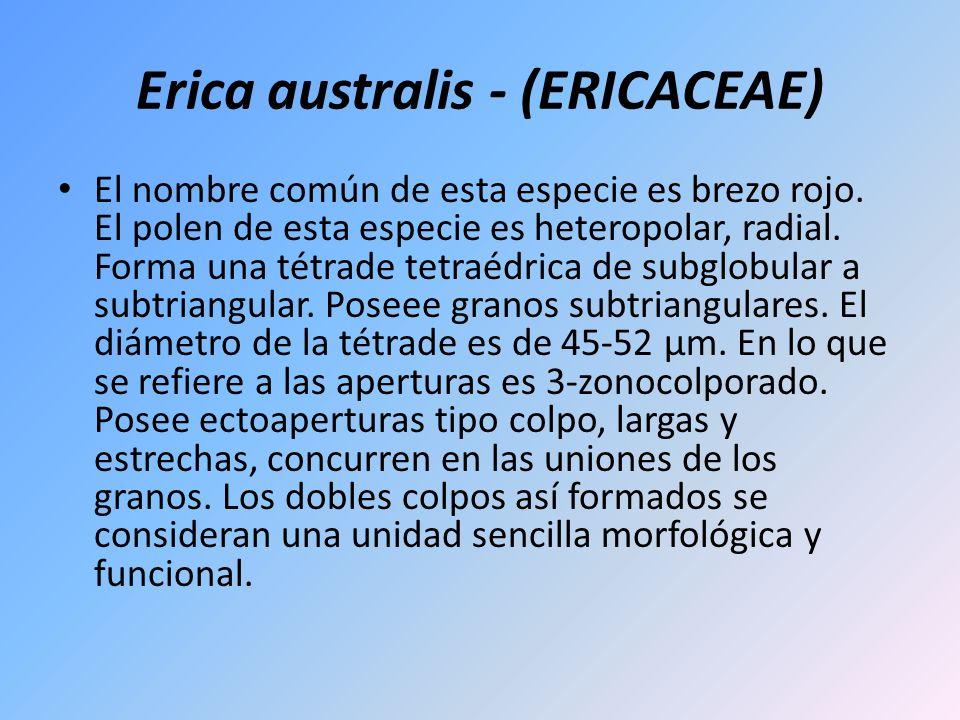Erica australis - (ERICACEAE) El nombre común de esta especie es brezo rojo. El polen de esta especie es heteropolar, radial. Forma una tétrade tetraé