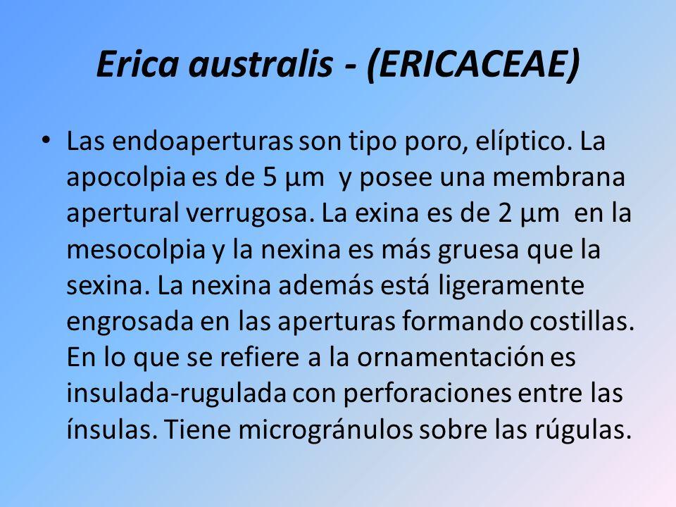 Erica australis - (ERICACEAE) Las endoaperturas son tipo poro, elíptico. La apocolpia es de 5 µm y posee una membrana apertural verrugosa. La exina es