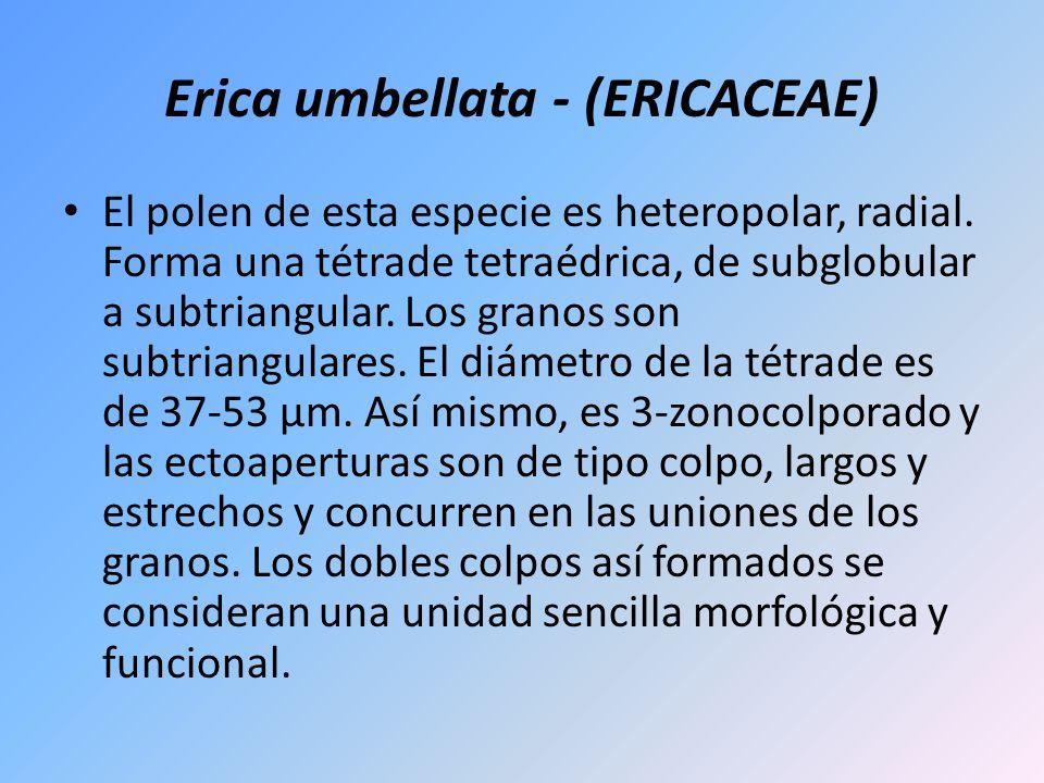 Erica umbellata - (ERICACEAE) El polen de esta especie es heteropolar, radial. Forma una tétrade tetraédrica, de subglobular a subtriangular. Los gran