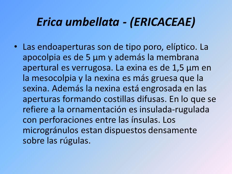 Erica umbellata - (ERICACEAE) Las endoaperturas son de tipo poro, elíptico. La apocolpia es de 5 µm y además la membrana apertural es verrugosa. La ex
