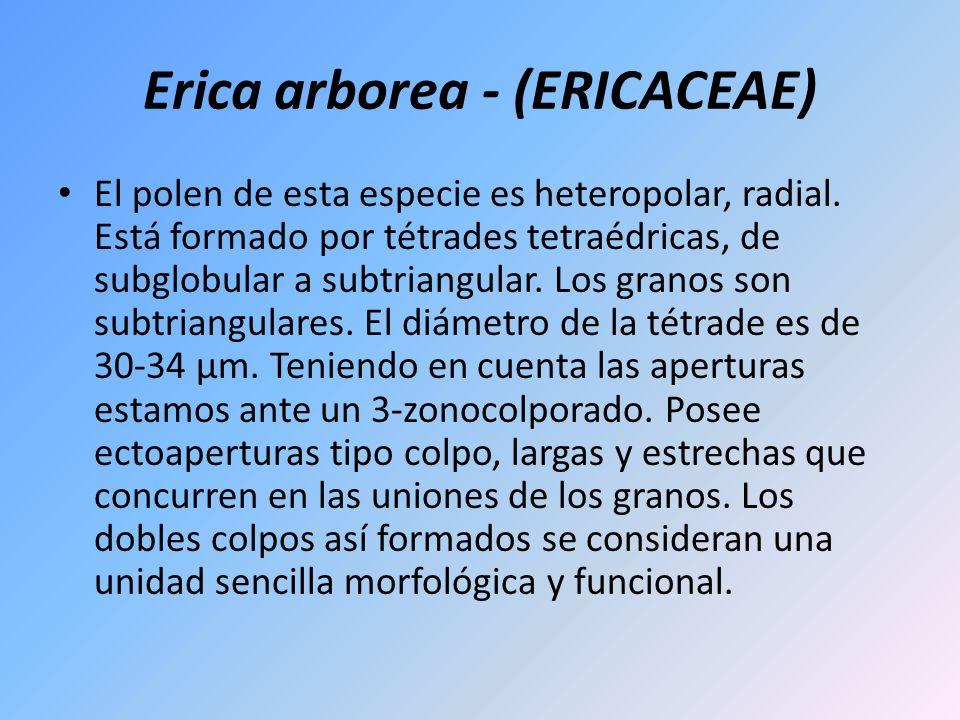 Erica arborea - (ERICACEAE) El polen de esta especie es heteropolar, radial. Está formado por tétrades tetraédricas, de subglobular a subtriangular. L
