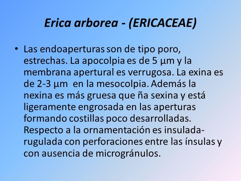 Erica arborea - (ERICACEAE) Las endoaperturas son de tipo poro, estrechas. La apocolpia es de 5 µm y la membrana apertural es verrugosa. La exina es d