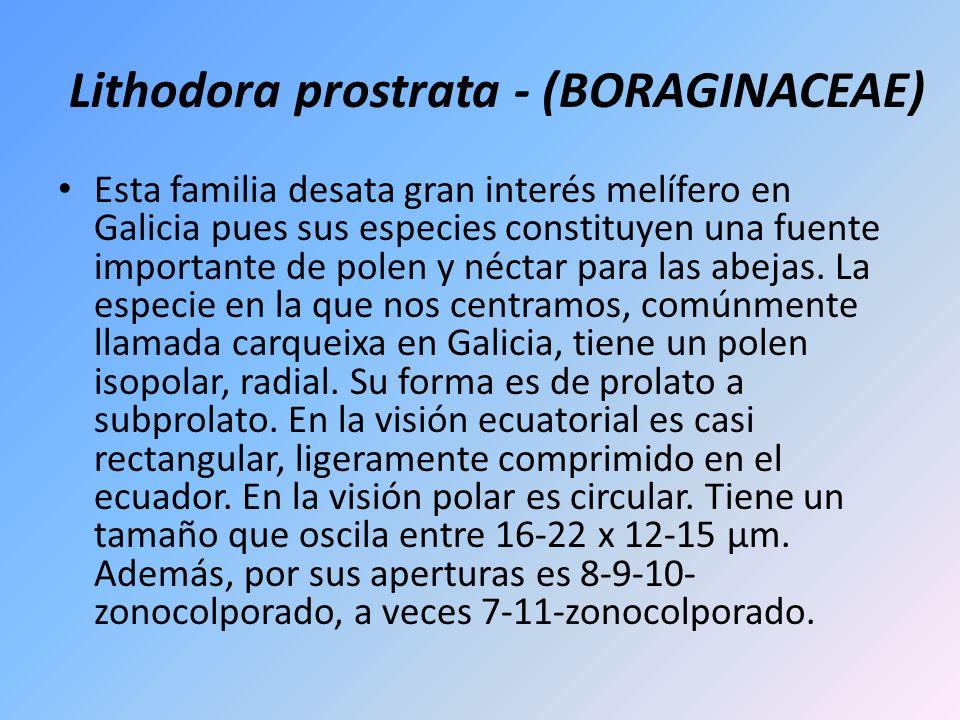 Lithodora prostrata - (BORAGINACEAE) Esta familia desata gran interés melífero en Galicia pues sus especies constituyen una fuente importante de polen