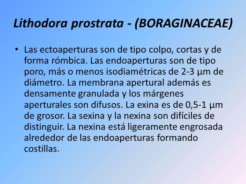 Lithodora prostrata - (BORAGINACEAE) Las ectoaperturas son de tipo colpo, cortas y de forma rómbica. Las endoaperturas son de tipo poro, más o menos i