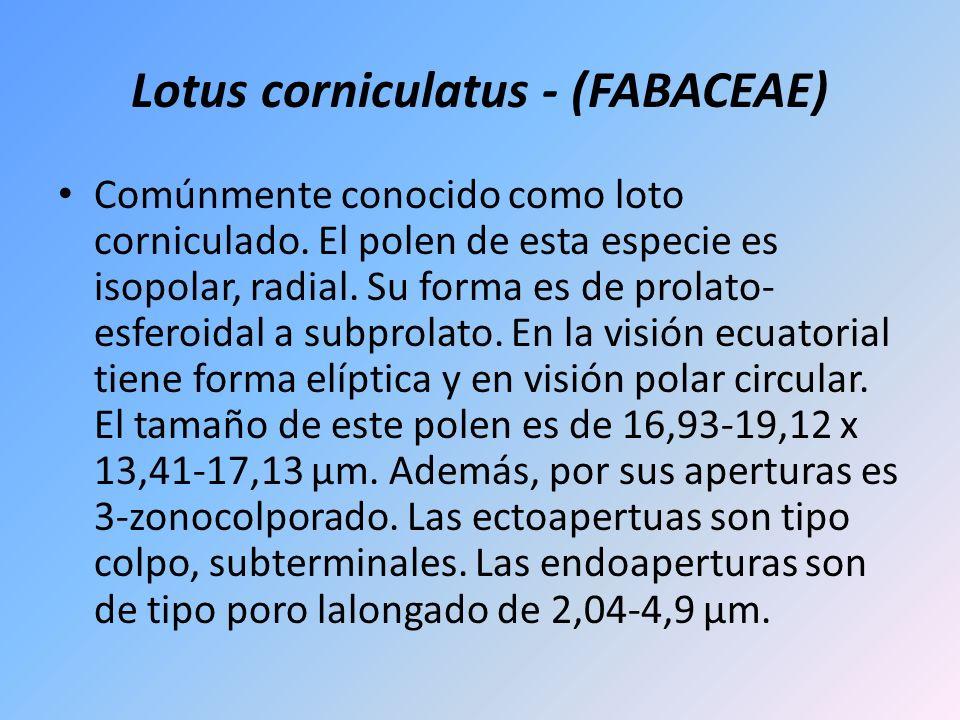 Lotus corniculatus - (FABACEAE) Comúnmente conocido como loto corniculado. El polen de esta especie es isopolar, radial. Su forma es de prolato- esfer