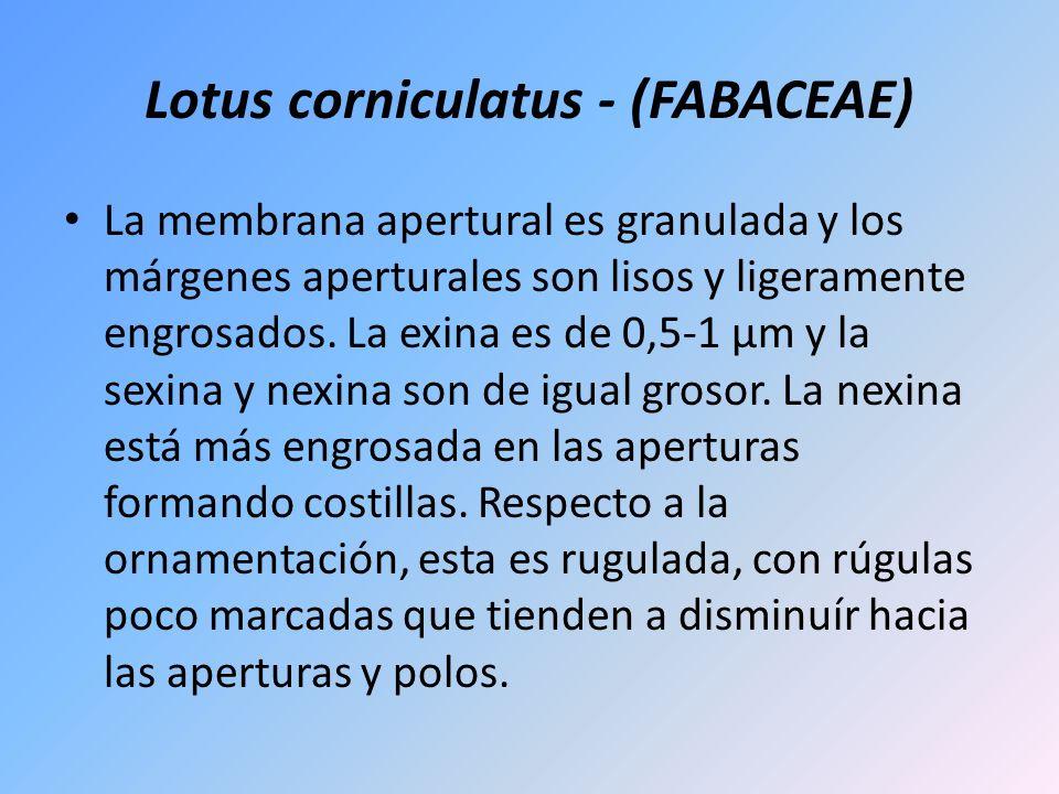 Lotus corniculatus - (FABACEAE) La membrana apertural es granulada y los márgenes aperturales son lisos y ligeramente engrosados. La exina es de 0,5-1