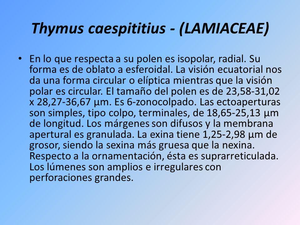 Thymus caespititius - (LAMIACEAE) En lo que respecta a su polen es isopolar, radial. Su forma es de oblato a esferoidal. La visión ecuatorial nos da u