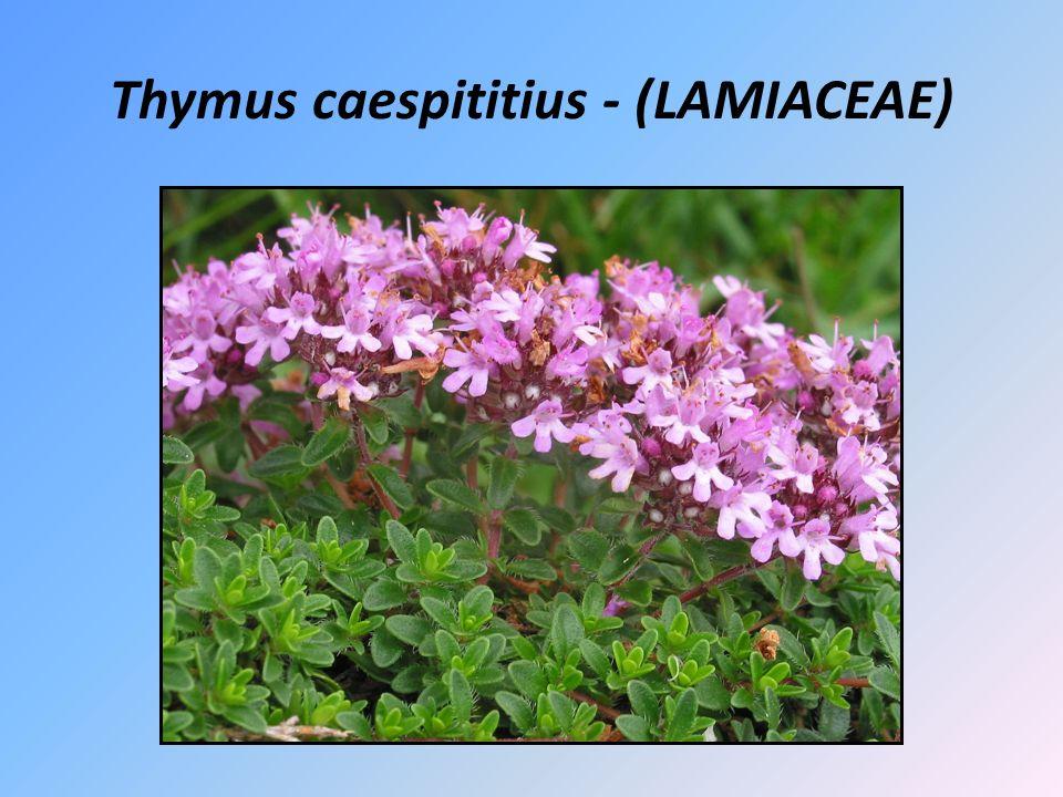 Thymus caespititius - (LAMIACEAE)