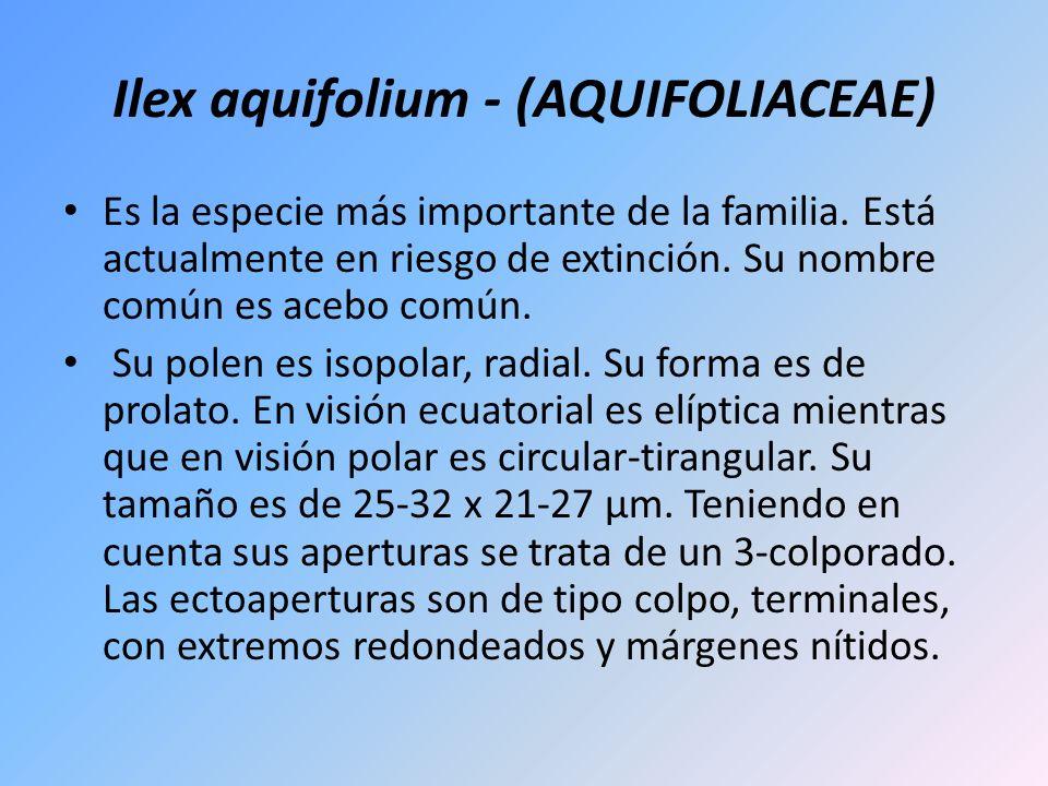 Ilex aquifolium - (AQUIFOLIACEAE) Es la especie más importante de la familia. Está actualmente en riesgo de extinción. Su nombre común es acebo común.