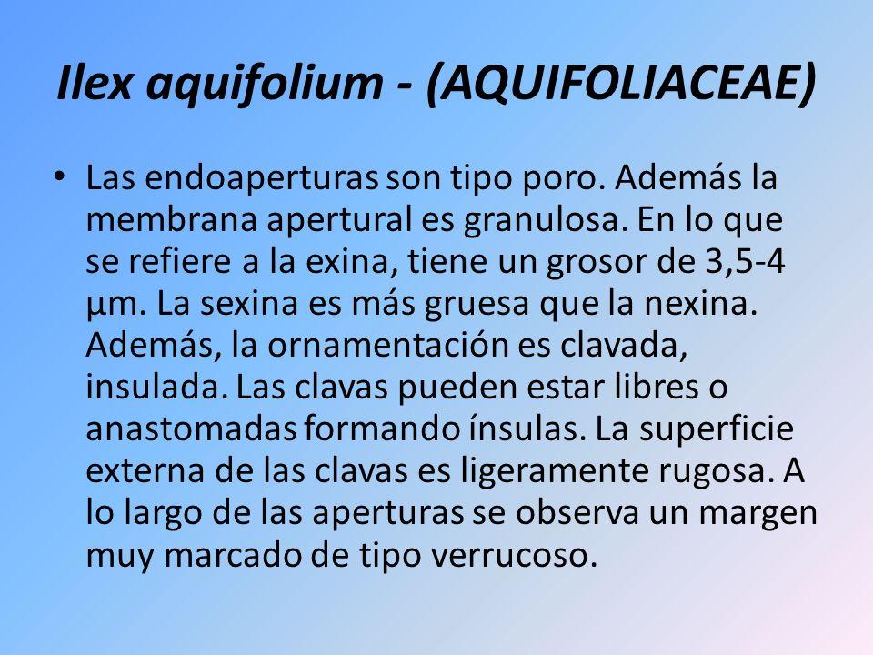 Ilex aquifolium - (AQUIFOLIACEAE) Las endoaperturas son tipo poro. Además la membrana apertural es granulosa. En lo que se refiere a la exina, tiene u