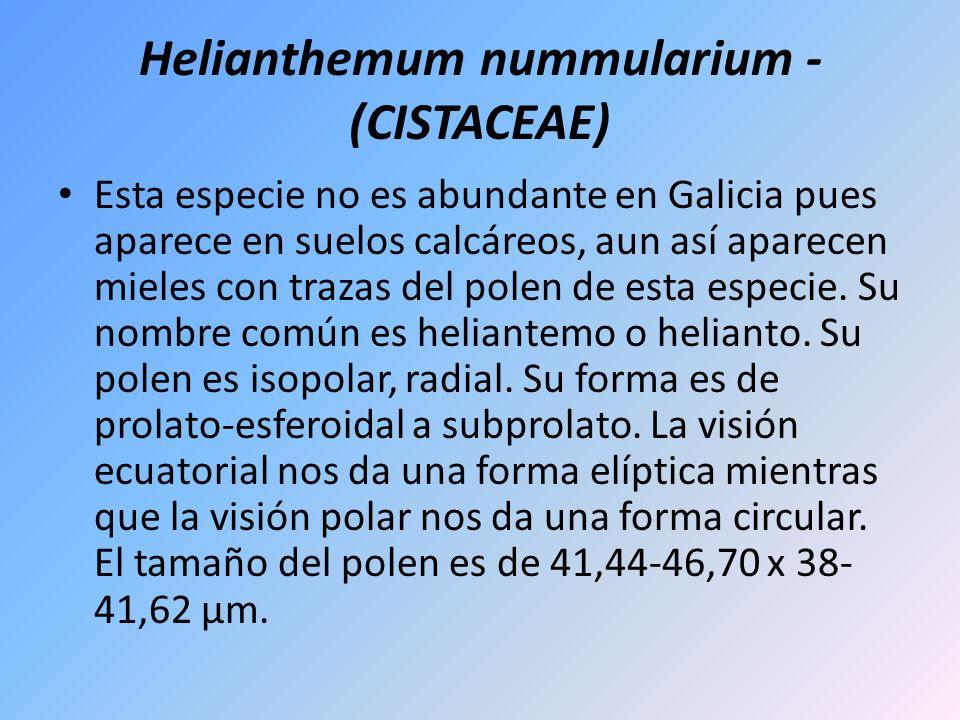 Helianthemum nummularium - (CISTACEAE) Esta especie no es abundante en Galicia pues aparece en suelos calcáreos, aun así aparecen mieles con trazas de
