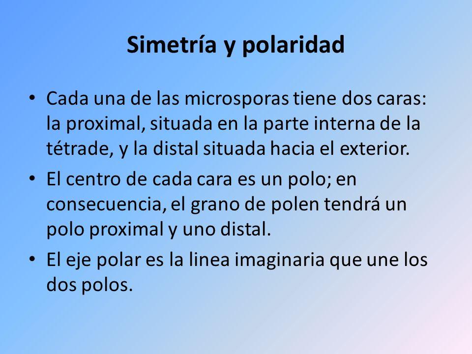 Simetría y polaridad Cada una de las microsporas tiene dos caras: la proximal, situada en la parte interna de la tétrade, y la distal situada hacia el