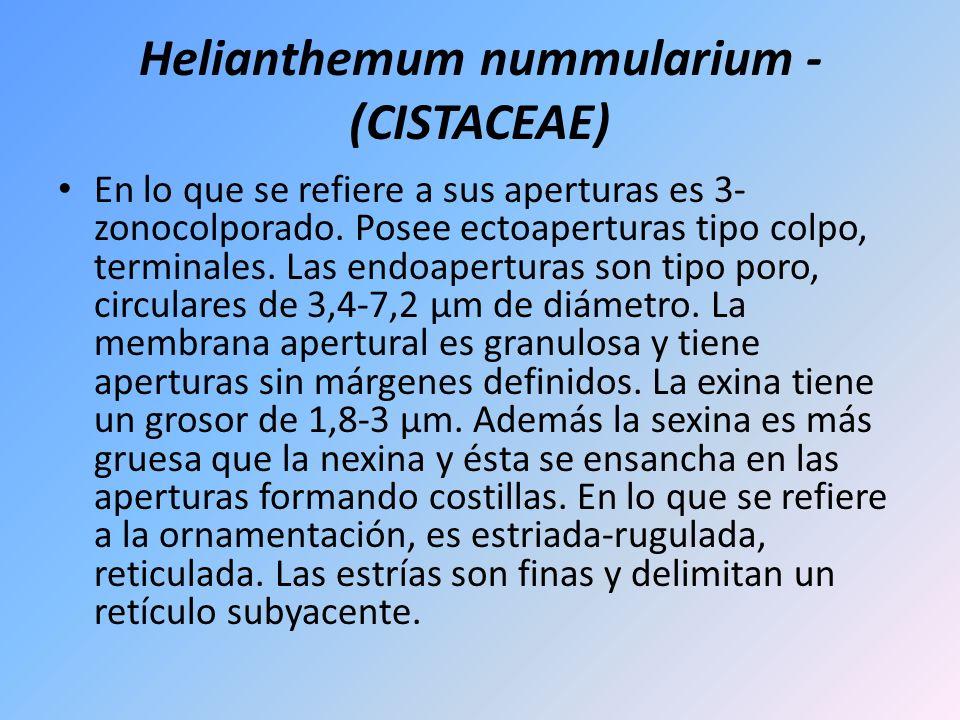 Helianthemum nummularium - (CISTACEAE) En lo que se refiere a sus aperturas es 3- zonocolporado. Posee ectoaperturas tipo colpo, terminales. Las endoa