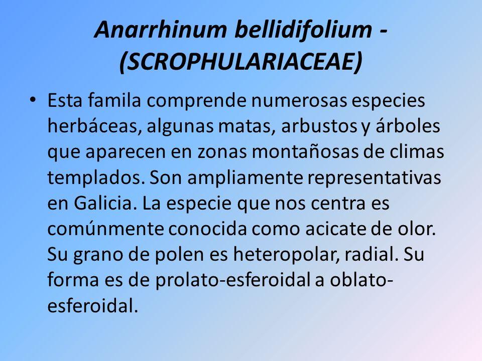Anarrhinum bellidifolium - (SCROPHULARIACEAE) Esta famila comprende numerosas especies herbáceas, algunas matas, arbustos y árboles que aparecen en zo