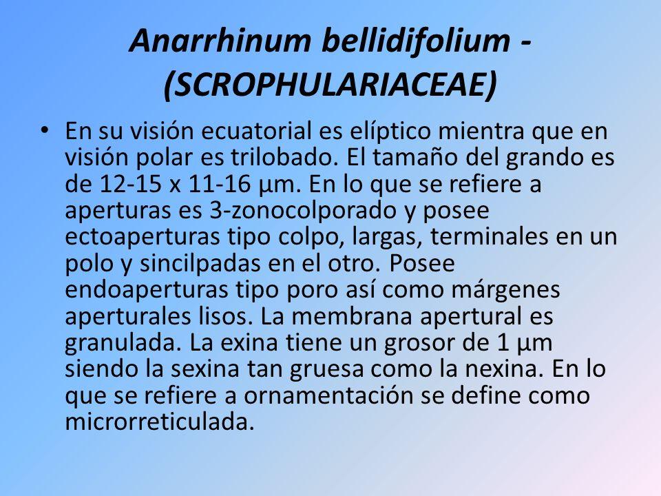 Anarrhinum bellidifolium - (SCROPHULARIACEAE) En su visión ecuatorial es elíptico mientra que en visión polar es trilobado. El tamaño del grando es de